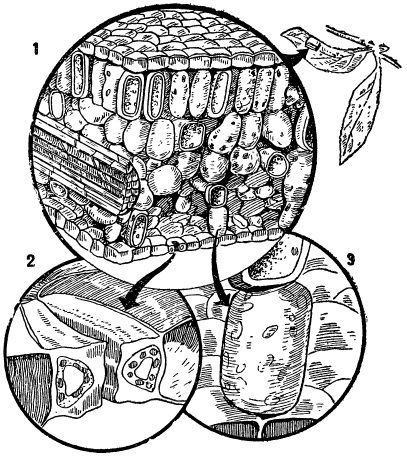 Поперечный разрез листа растения