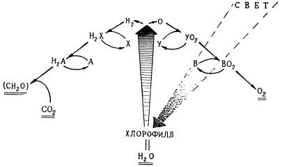 Упрощенная схема связей между фотохимическими и темповыми (энзиматическими) реакциями фотосинтеза