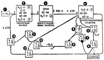Схема фотосинтетических превращений углерода (цикл Кальвина)