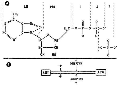 Строение молекул АДФ (с 2-мя Р) и АТФ (с 3-мя Р)