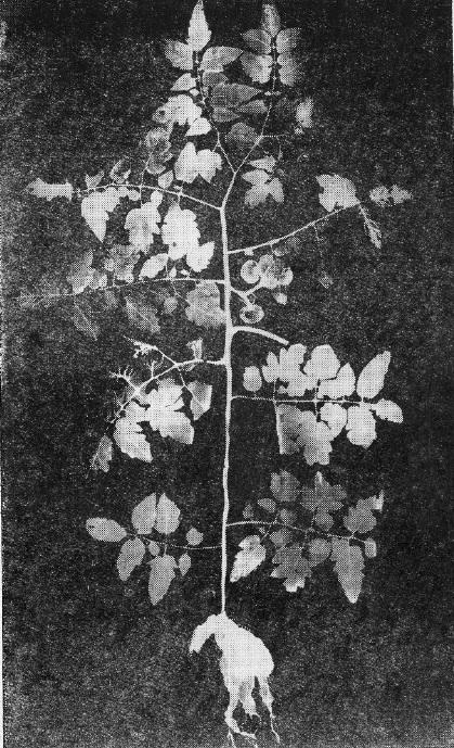 Радиоавтограф растения помидора: распределение витамина B1 с радиоактивной меткой введенного в черенок среднего листа.