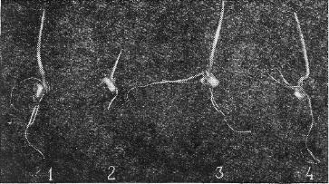 Семена, обработанные белым стрептоцидом